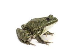 Dark green spotted frog Stock Photos