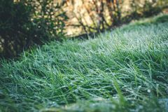 Green summer grass with dew in the evening stock photo