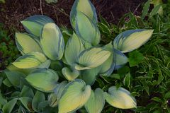 Dark green tipped hosta with light green leaves. With other hosta plants in the background royalty free stock images