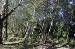 Dark green trees in forest. Near lake La Quintana, in Cordoba, Argentina royalty free stock photography
