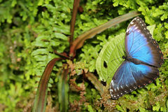 Dark green vegetation with butterfly. Tropic nature in Costa Rica. Blue butterfly, Morpho peleides, sitting on green leaves. Big b stock photography