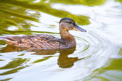 Duck in green water - Stock Photos Royalty Free Stock Photos