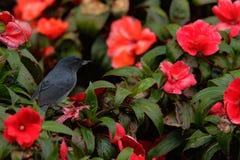Dark grey bird Slaty Flower-piercer, Diglossa plumbea, in red flowered bloom, Savegre, Costa Rica Royalty Free Stock Photos