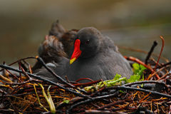 Dark grey bird with yellow red bill Common Moorhen, Gallinula chloropus, sitting on the nest with eggs Stock Photo