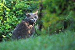 Dark-grey cat Royalty Free Stock Image