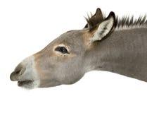 Dark grey dun Royalty Free Stock Images