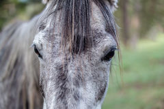 Portrait of a dark grey horse Royalty Free Stock Image