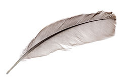 Dark grey one rooster feather on white Stock Photography