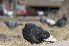 Dark grey pigeon sitting hunched on the dry yellow grass Royalty Free Stock Photo