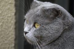 Dark grey Scottish Fold Stock Images