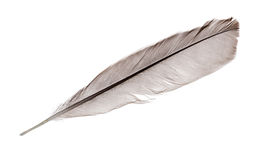 Dark grey straight rooster feather on white Stock Photo