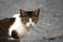 Dark grey and white cat sitting and looking directly at camera with beautiful light green eyes. Dark grey and white cat sitting on asphalt road and looking stock photos