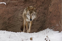 Dark grey wolf in winter Royalty Free Stock Photo
