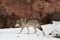 Dark grey wolf in winter Royalty Free Stock Photos