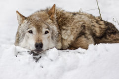 Dark grey wolf in winter Royalty Free Stock Image