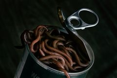 A Can of Worms Opened. A dark and grim studio shot depicting a worms in an a freshly opened can royalty free stock photos