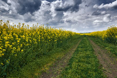 Dark ground road in rapeseed yellow flower field, spring landscape with moody sky Royalty Free Stock Images