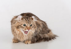 Dark Hair American Curl cat Lying on the white table. White Background. Mouth Open. Royalty Free Stock Images