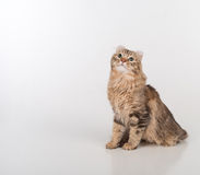 Dark Hair American Curl cat Sitting on the white table. White Background. Stock Images