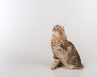 Dark Hair American Curl cat Sitting on the white table. White Background. Looking Up. Royalty Free Stock Images