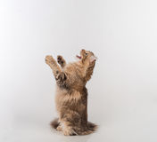Dark Hair American Curl cat Standing on two legs on the white table. White Background. Looking Up. Open Mouth. Angry. Stock Photography