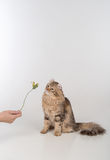 Dark Hair American Curl cat Standing on two legs on the white table. White Background. Looking Up and Playing with Rose. Stock Photos