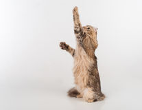 Dark Hair American Curl cat Standing on the white table. White Background. Looking Up. Stock Image