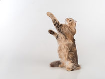 Dark Hair American Curl cat Standing on the white table. White Background. Looking Up. Stock Photos