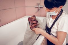 Dark-haired woman using towel while drying dog after washing. Woman using towel. Dark-haired woman wearing uniform using towel while drying dog after washing royalty free stock images