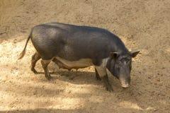A dark hairy sow pig on the farm stock photos