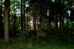 Dark halloween creepy pine wood