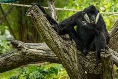 Dark handed gibbon Royalty Free Stock Images