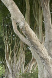 Dark Hedges, County Antrim Stock Images