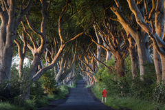 The Dark Hedges - County Antrim - Northern Ireland. Early morning sunlight on the 'Dark Hedges' - an avenue of ancient trees in County Antrim in Northern Ireland royalty free stock photo