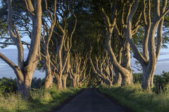 The Dark Hedges - County Antrim - Northern Ireland. Early morning sunlight on the `Dark Hedges` - an avenue of ancient trees in County Antrim in Northern Ireland royalty free stock images