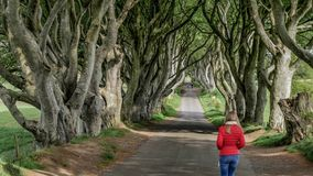 The Dark Hedges - a famous location in Northern Ireland. Travel photography stock video