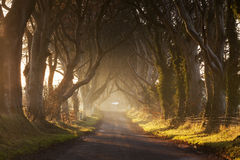Dark Hedges II. Moody sunrise in Antrim, Northern Ireland Royalty Free Stock Photo