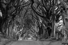 The Dark Hedges - monochrome. 300 year old beach trees form an ominous frame for a country road near stranocum, ballymoney, northern ireland royalty free stock images