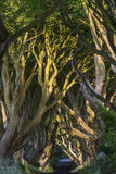 The Dark Hedges, Northern Ireland. The Dark Hedges, Co. Antrim, Bregagh Road - Northern Ireland stock photos