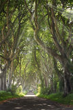 Dark Hedges with sun rays. And strange shape trees. Northern Ireland royalty free stock images