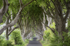 The Dark Hedges  at sunrise Royalty Free Stock Images
