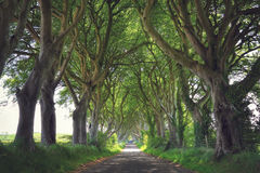 Dark Hedges trees Royalty Free Stock Images