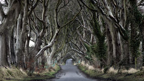 Dark Hedges. Woods of Dark Hedges with its strange shape trees. Northern Ireland