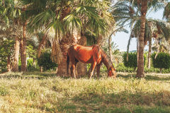 dark horse eating grass on the background of palm trees at sunse Stock Images