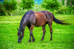 Dark horse grazing in the field Royalty Free Stock Photos