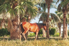 Dark horse stands on the background of palm trees at sunset Stock Image
