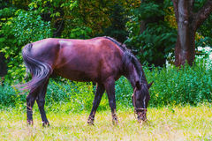 Dark horse walks in the Park royalty free stock image