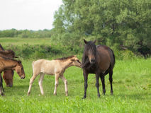 Dark horse with young colt on green meadow. Dark horse with young colt on countryside meadow Royalty Free Stock Photo