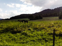 Dark horses on meadow with sunlight royalty free stock photography
