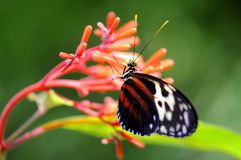 Dark Ismenius tiger butterfly in aviary Royalty Free Stock Photo